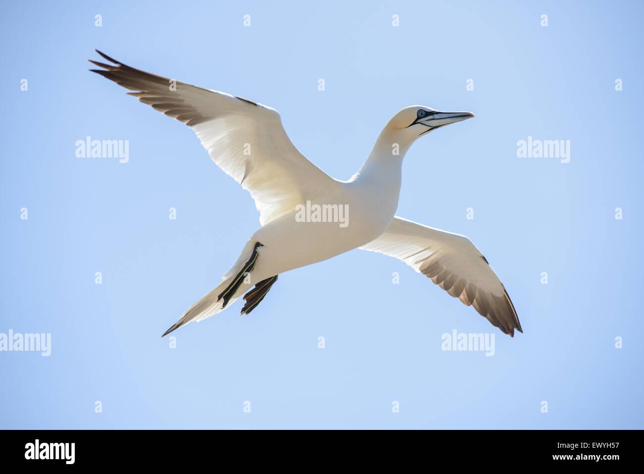 Gannett settentrionale volare nel cielo Immagini Stock