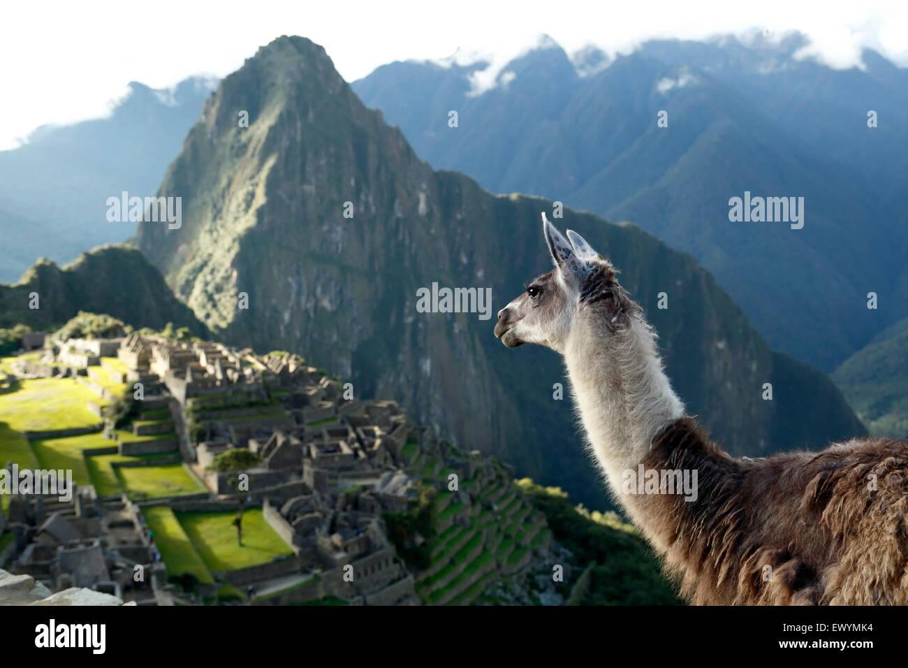 Llama (Lama glama) e Machu Picchu rovine Inca, vicino a Machu Picchu Pueblo (aka Aguas Calientes), Cusco, Perù Immagini Stock