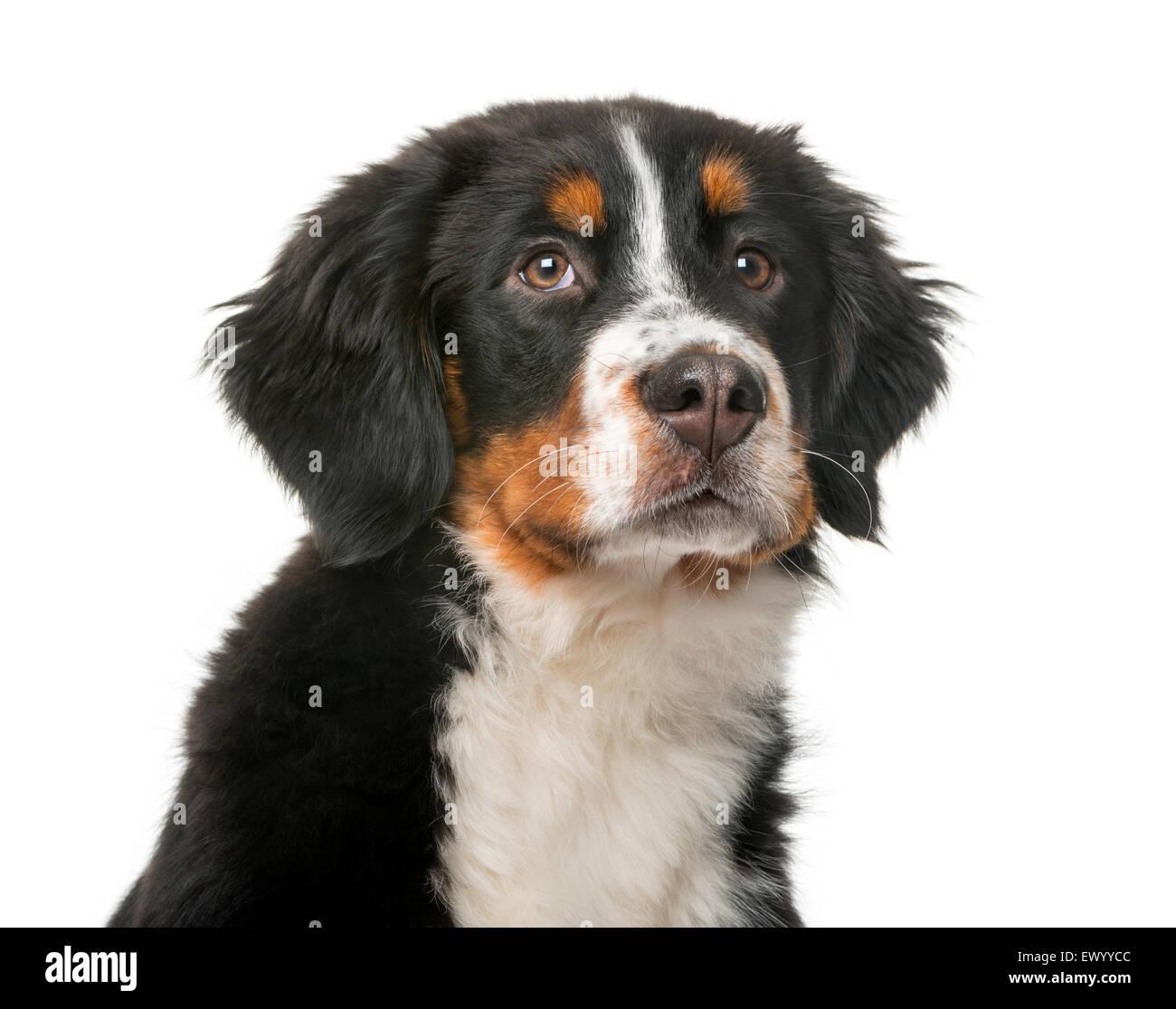 Bovaro del Bernese cucciolo (5 mesi) davanti a uno sfondo bianco Foto Stock