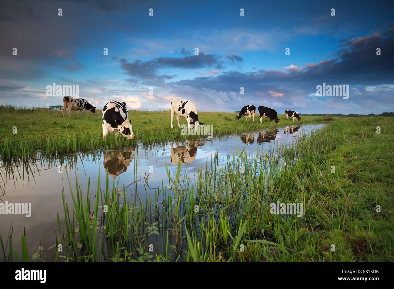 Le mucche al pascolo su terreni adibiti a pascolo dal fiume in estate Immagini Stock
