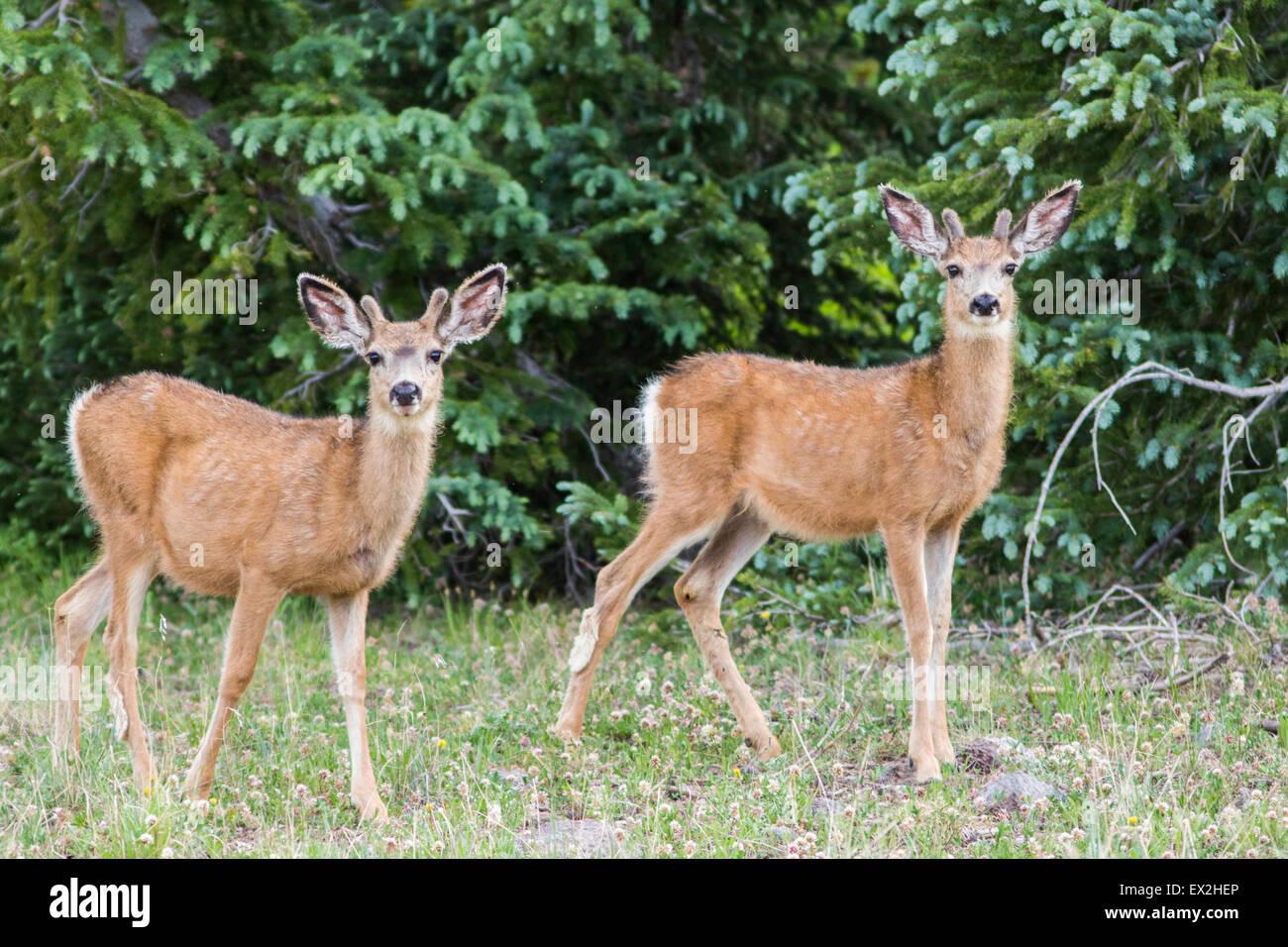 Mule Deer Odocoileus hemionus Cedar Breaks National Monument, Iron County, Utah, Stati Uniti 29 giugno i giovani Immagini Stock