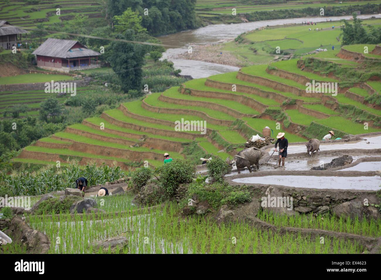 Impianto di coltivatori di riso durante la stagione delle piogge con un bufalo indiano di acqua prelevata aratro Immagini Stock