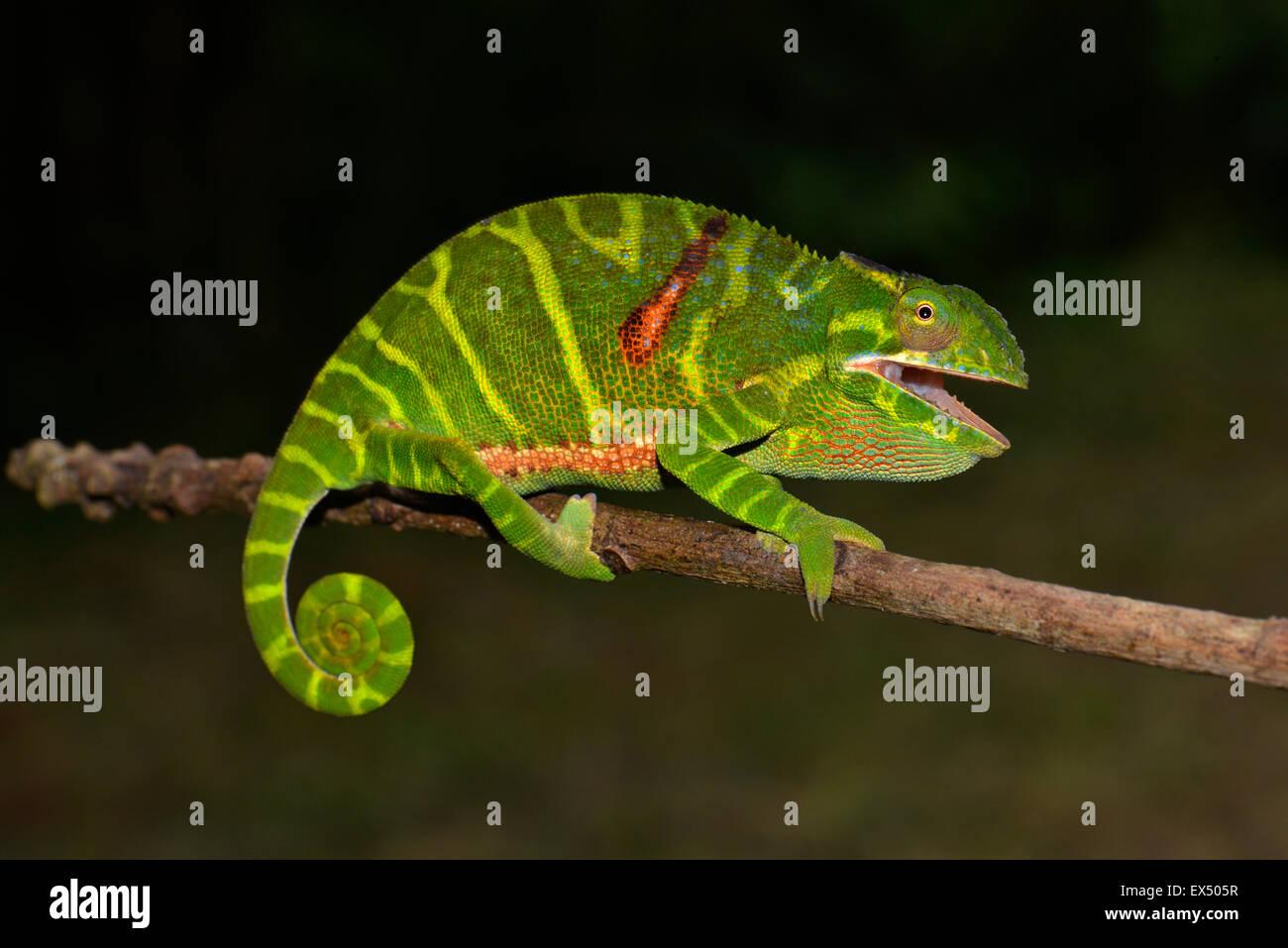Femmina (chameleon Furcifer timoni), Montagne d'Ambre, il Parco nazionale del Madagascar settentrionale Immagini Stock