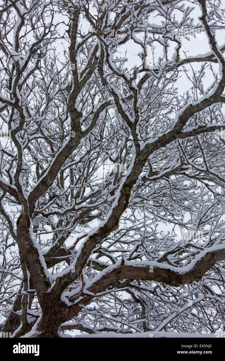 Inglese / Quercia farnia / Francese quercia (Quercus robur) rami e ramoscelli coperte di neve in inverno Immagini Stock