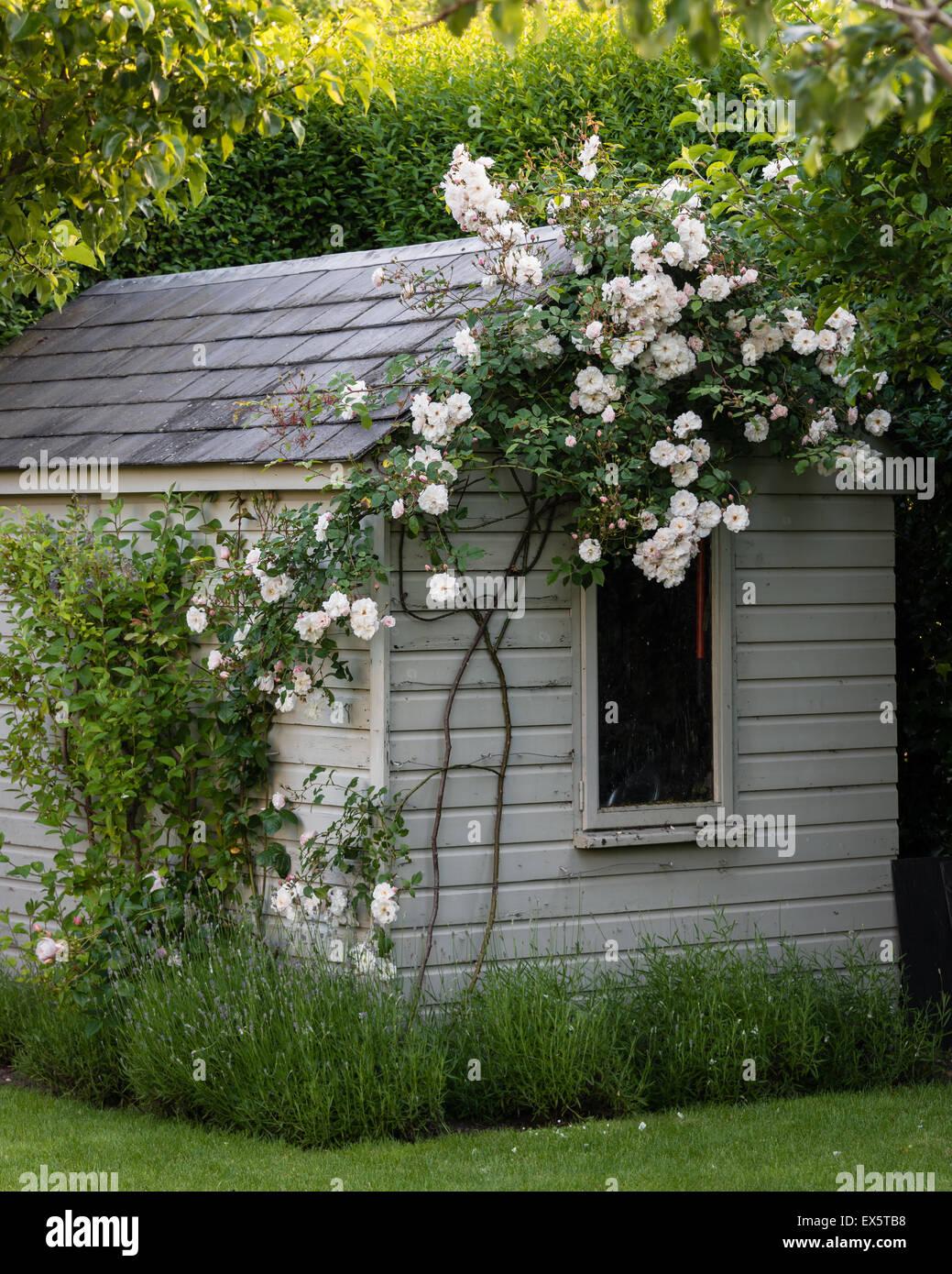 Tettoia in legno con rosa rampicante in country garden Immagini Stock