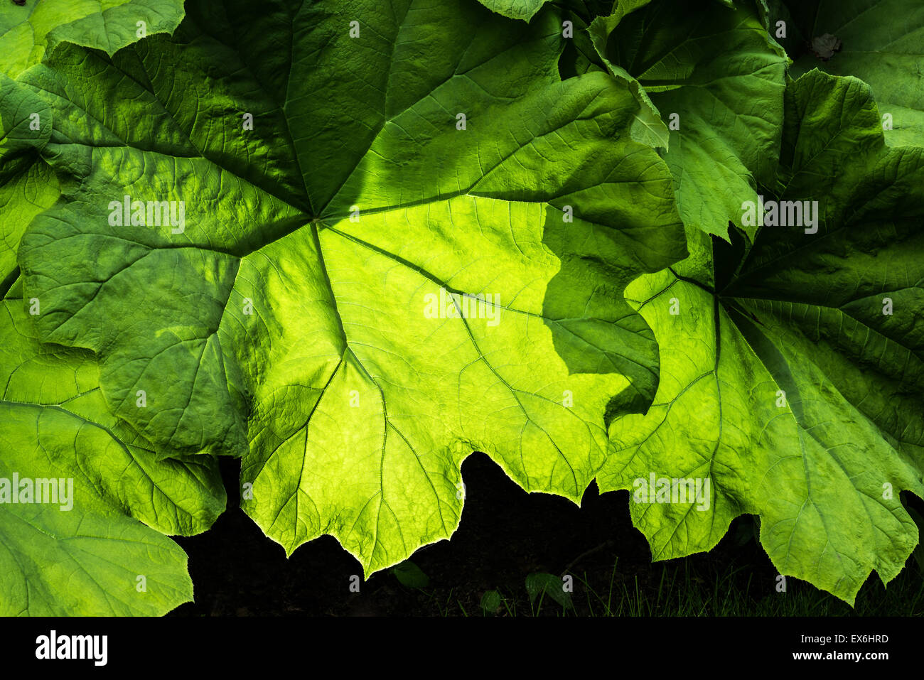 Saxifragaceae Astilboides tabularis foglio tabulare parasollblad swe Manciuria Corea del Nord Rodgersia tabularis Foto Stock