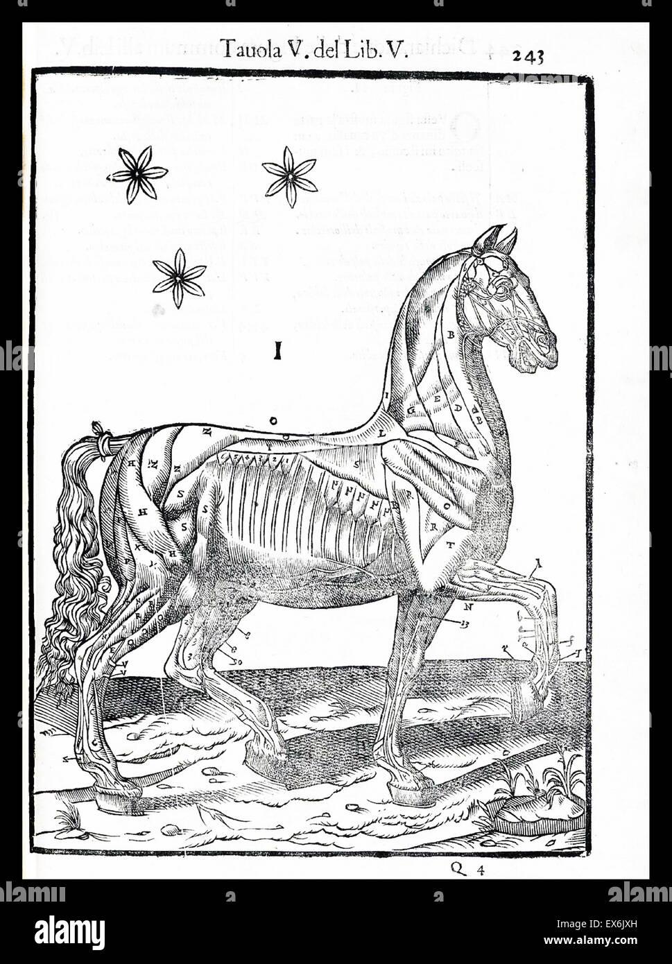 Equina illustrazione anatomica da 'anatomia del cavallo, infermità et suoi rimedii'. Anatomia di un Immagini Stock