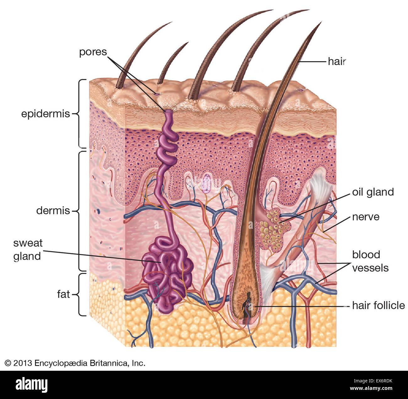 Sezione di pelle umana Immagini Stock