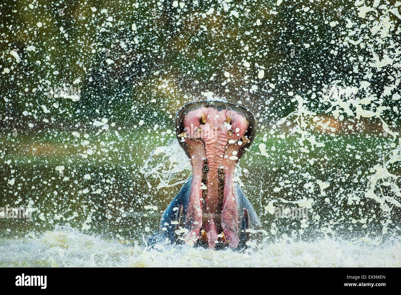 Maschio di ippopotamo visualizzazione aggressivo comportamento territoriale la spruzzatura di acqua Immagini Stock