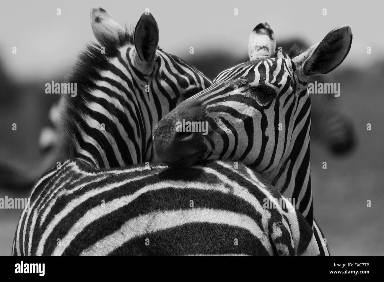 La Burchell comune abbracciando zebra, Equus burchelli - Kenya Immagini Stock