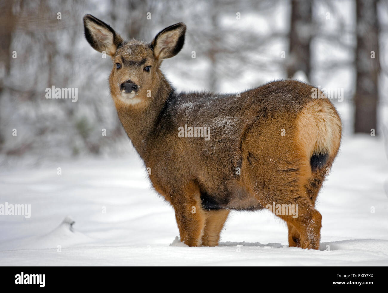 Mule Deer Doe nel bosco in neve profonda Immagini Stock