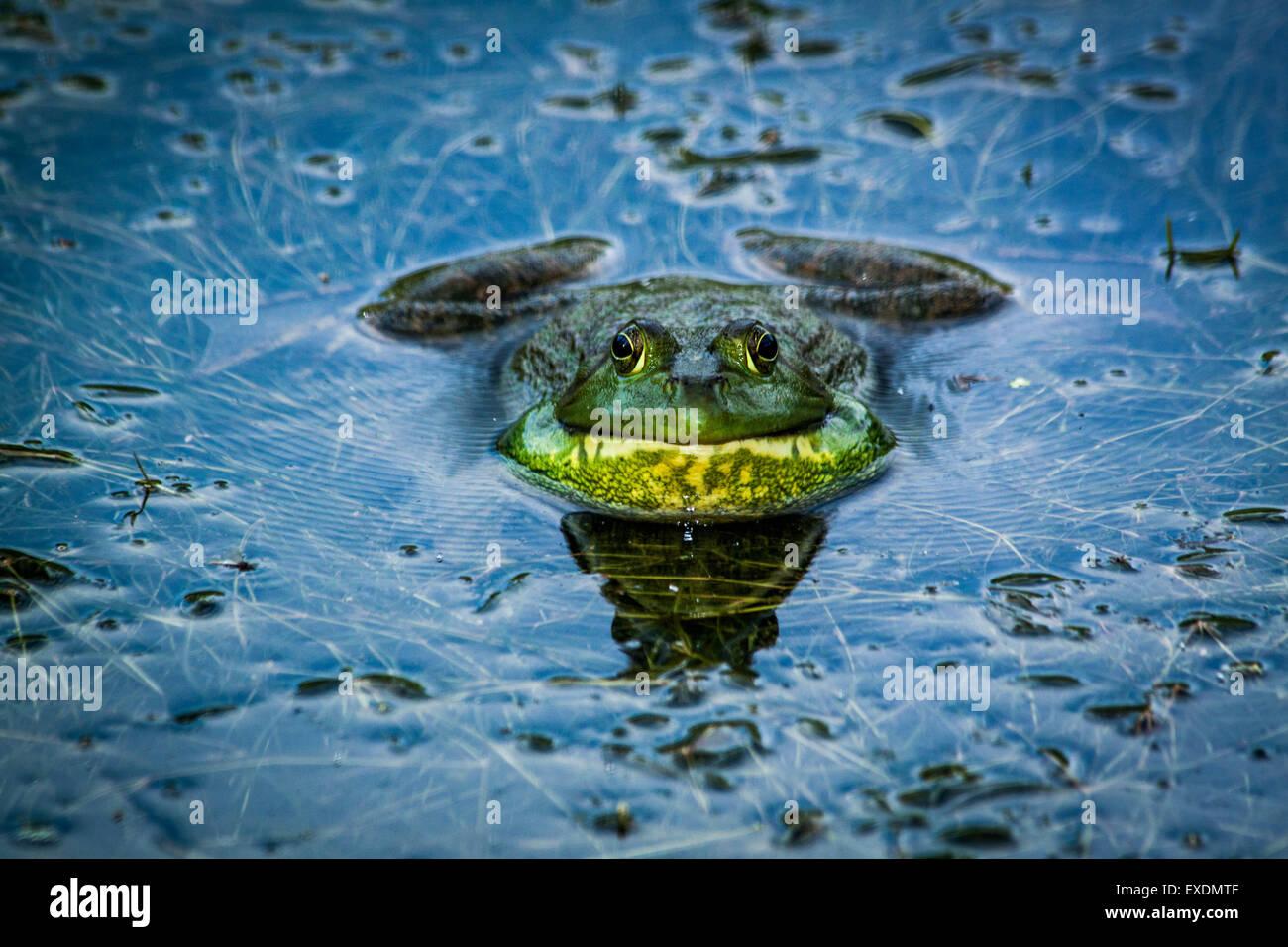 Bullfrog (Rana catesbeiana), Metropolitana Inniswood giardino, Westerville, Ohio. Foto Stock