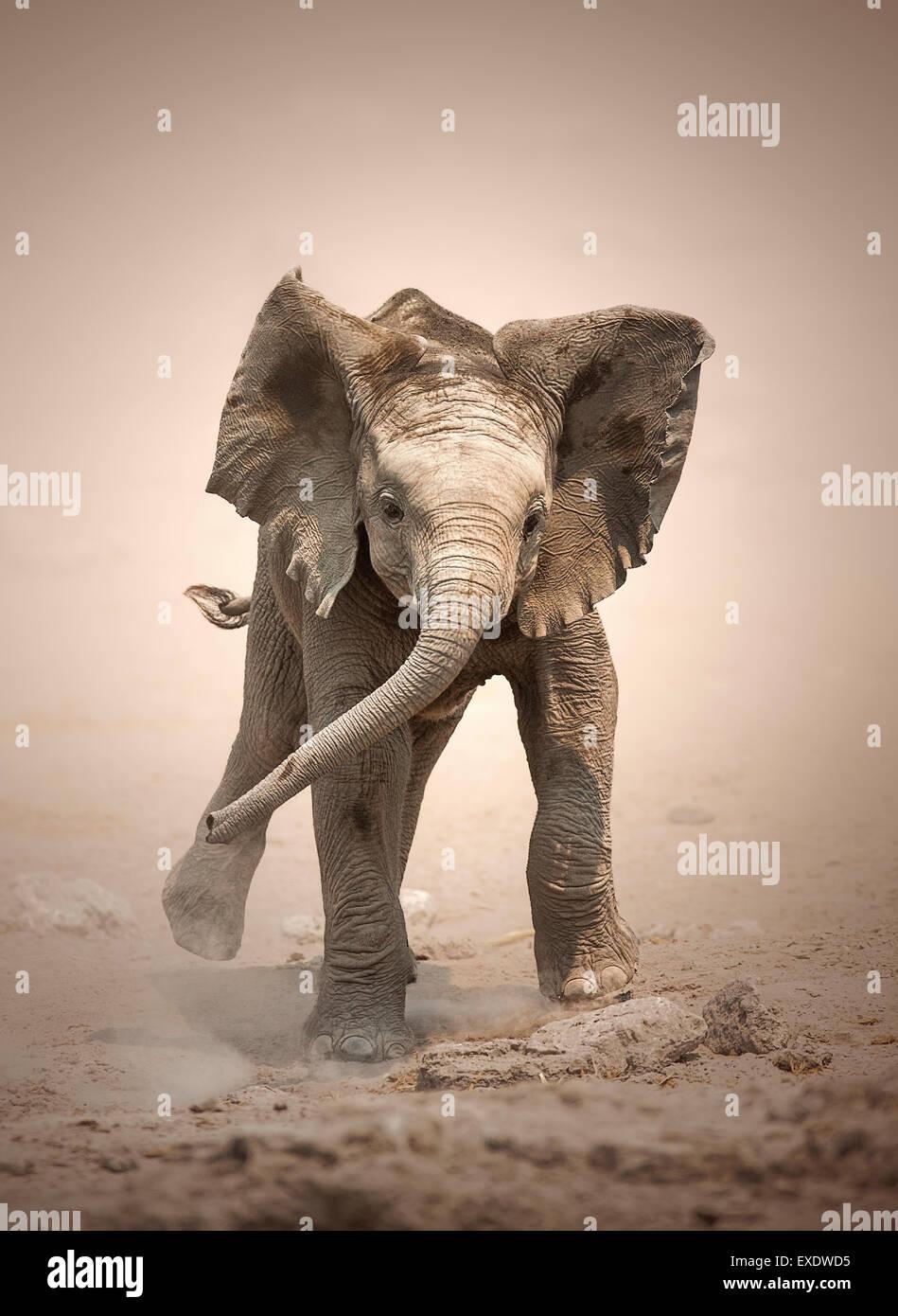 Cucciolo di elefante africano (Loxodonta africana) simulazione di carica - Etosha National Park (Namibia) Immagini Stock