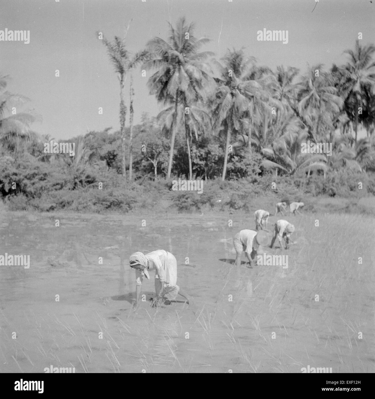 Vrouwen rijst planten op de sawah donne piantagione di riso Immagini Stock
