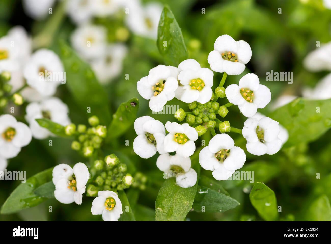 Fiori Bianchi Con Quattro Petali.Little White Lobularia Maritima Fiori Con Quattro Petali In Un
