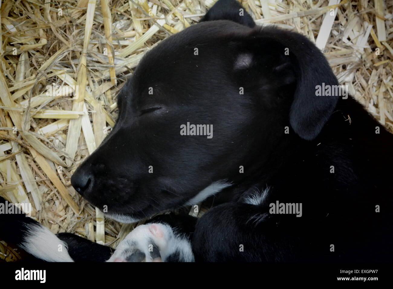 Cucciolo tranquillamente dormendo Immagini Stock