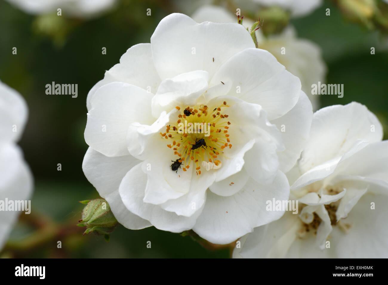 Fiori Bianchi Giugno.Pollini Immagini Pollini Fotos Stock Alamy