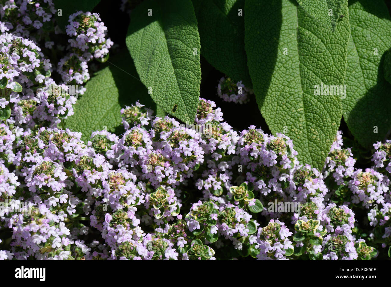 Letto rialzato per le erbe aromatiche, timo (fioritura) e salvia per uso in cucina Immagini Stock