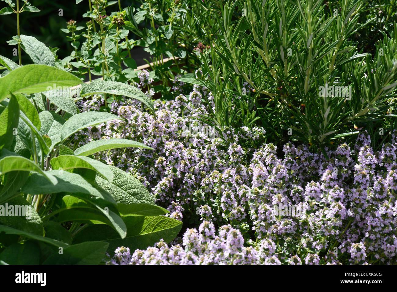 Letto rialzato per le erbe aromatiche, rosmarino, timo ...