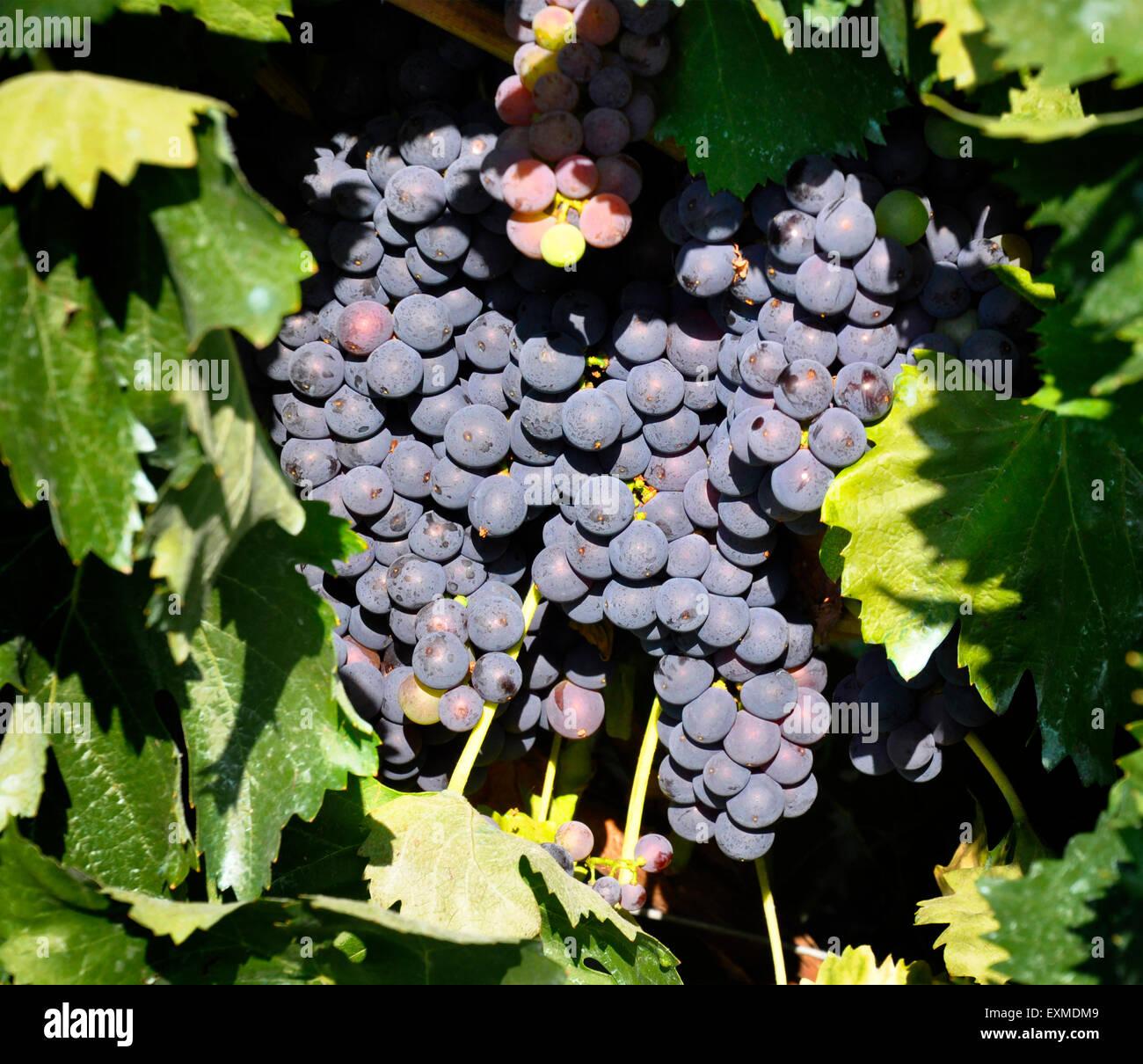 Un grappolo di uva appeso sulla vite Immagini Stock