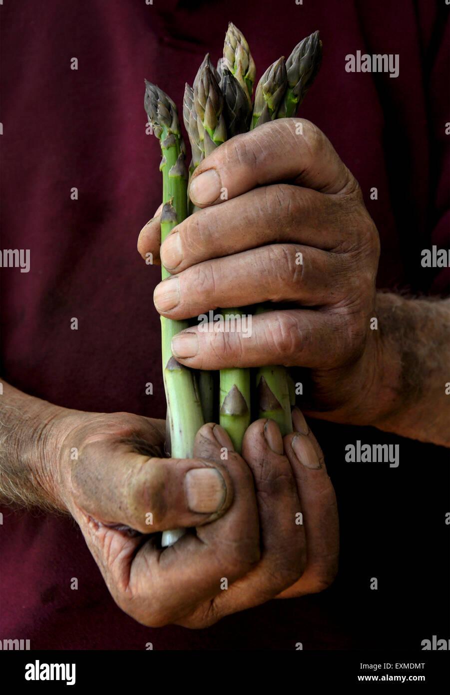 Un coltivatore o giardiniere cullano un mazzetto di asparagi Immagini Stock