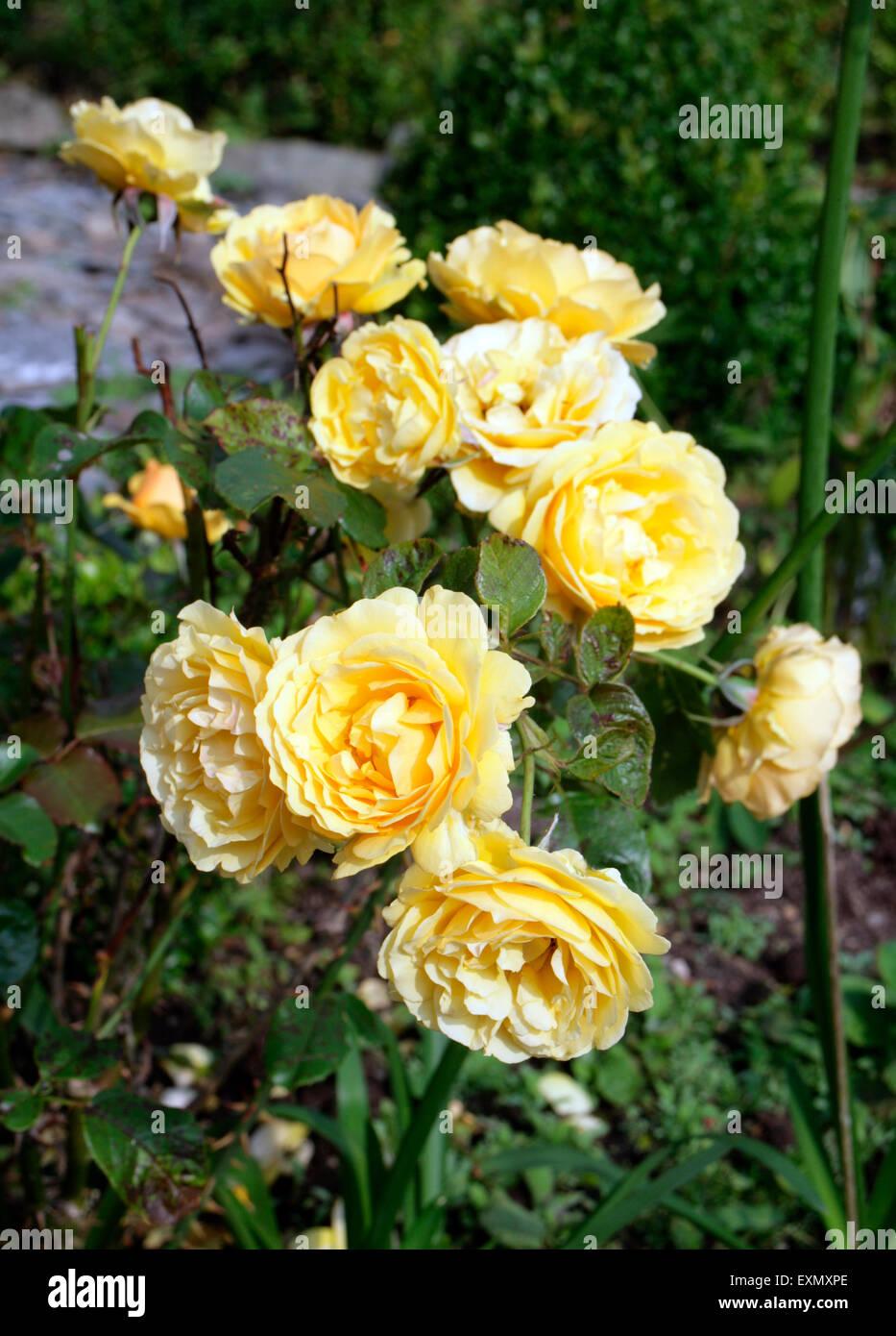 Fiori Gialli Rose.Rosa Moquette Fiore Giallo Foto Immagine Stock 85282582 Alamy