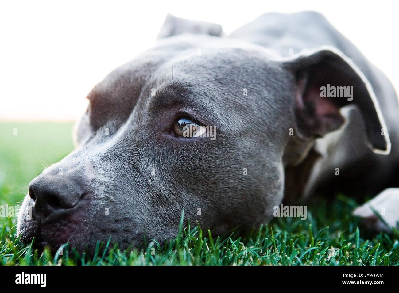 Close up ritratto meraviglioso Pitbull blu recante la testa in erba Immagini Stock