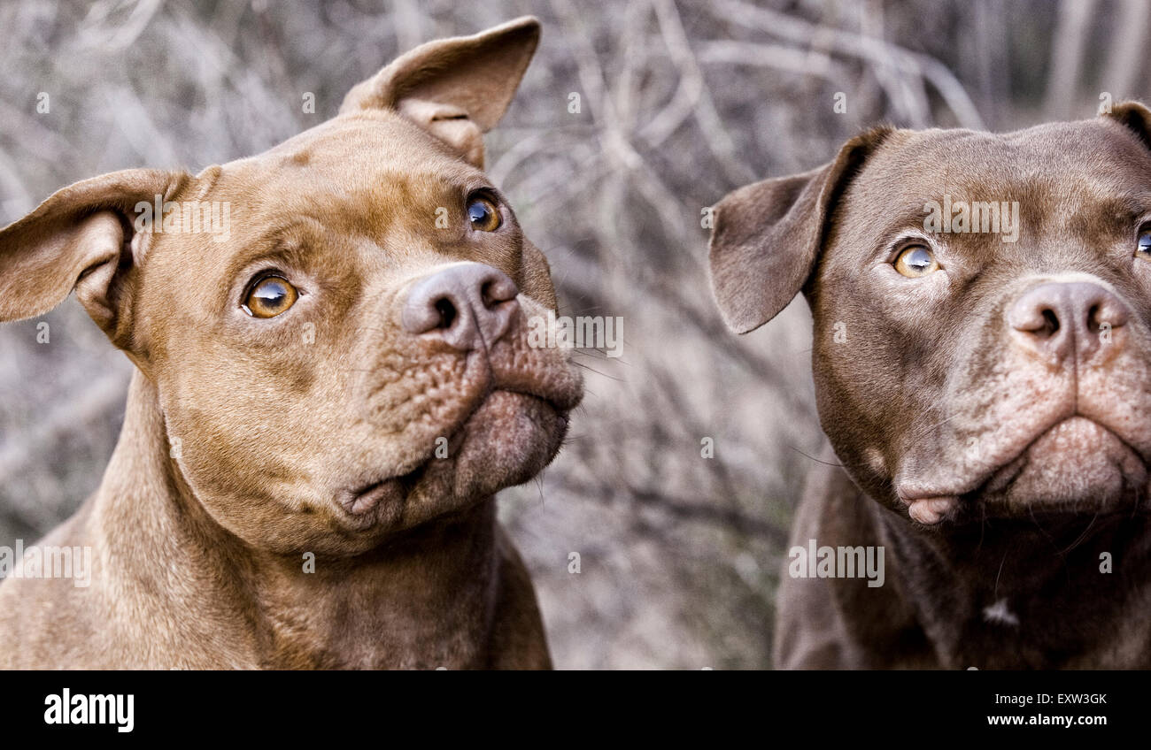 Due pitbulls marrone guardando in alto, anticipazione, della messa a fuoco Immagini Stock