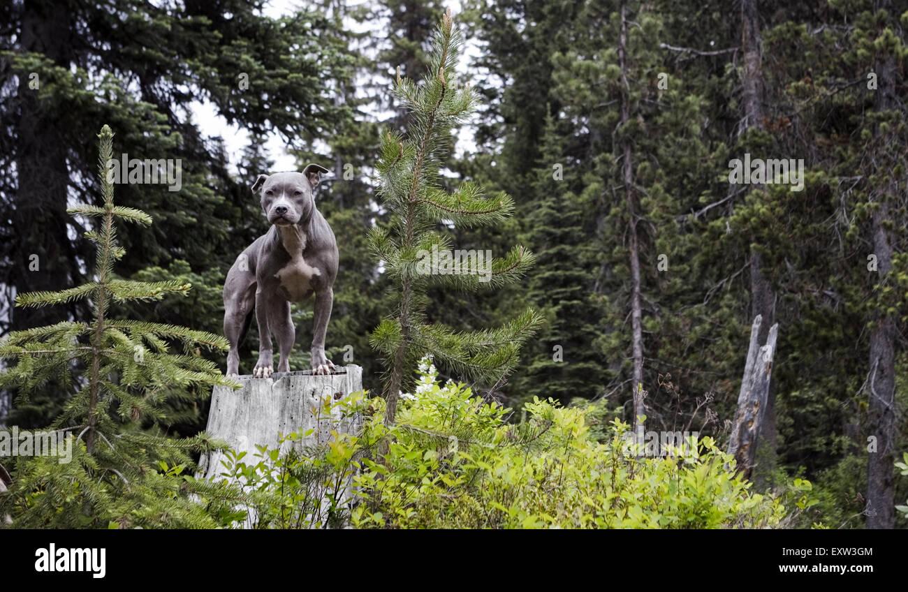 Splendida blue Pitbull in piedi sul ceppo di albero nella foresta Immagini Stock