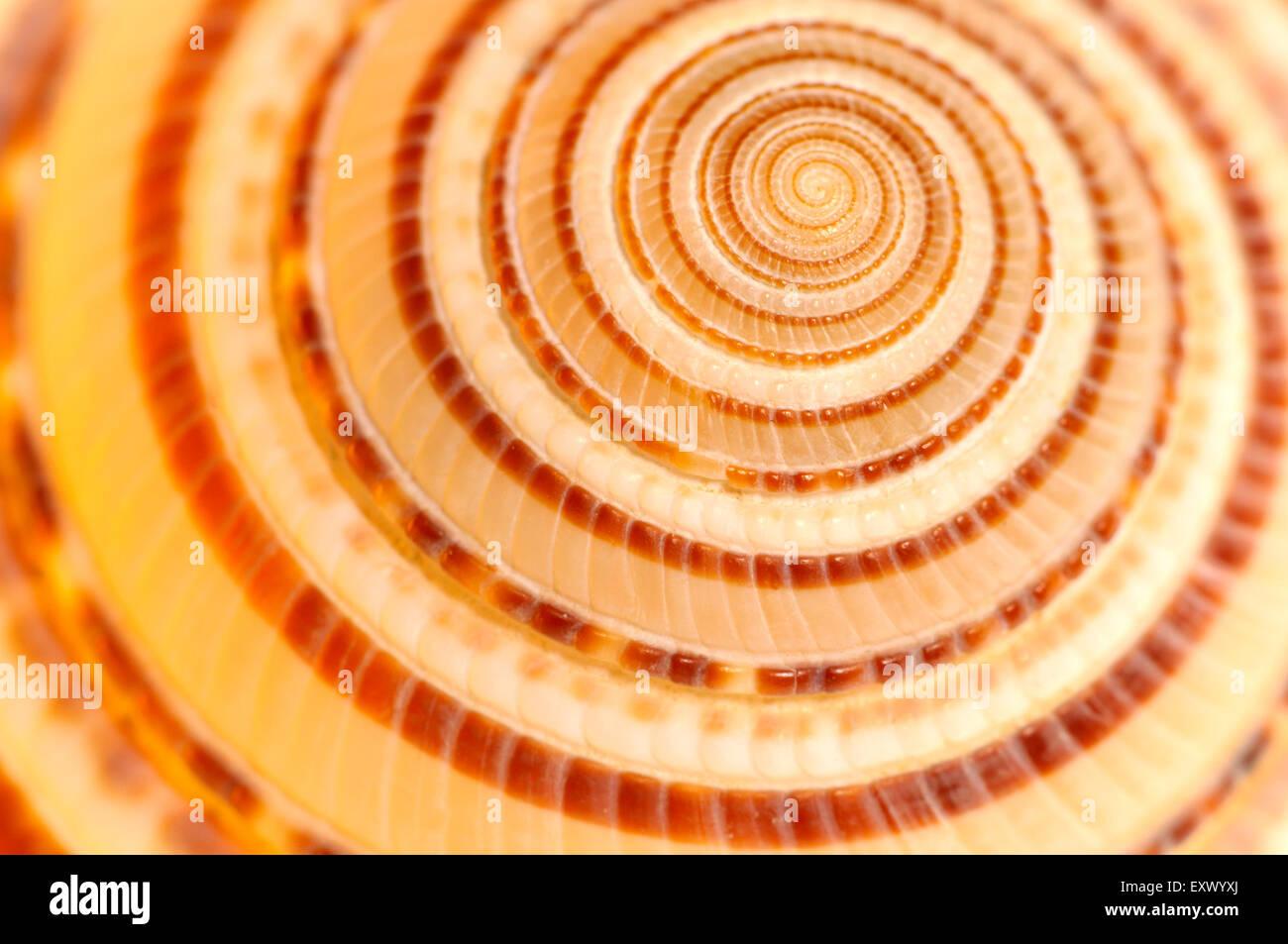 Dettaglio di un chiaro Meridiana seashell (Architectonica perspectiva) Immagini Stock