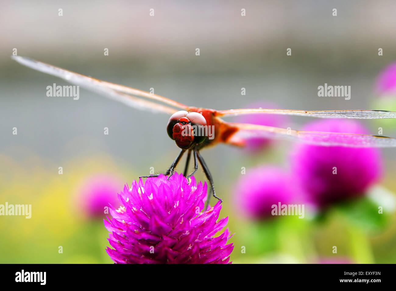 Dragonfly sul fiore rosso Immagini Stock