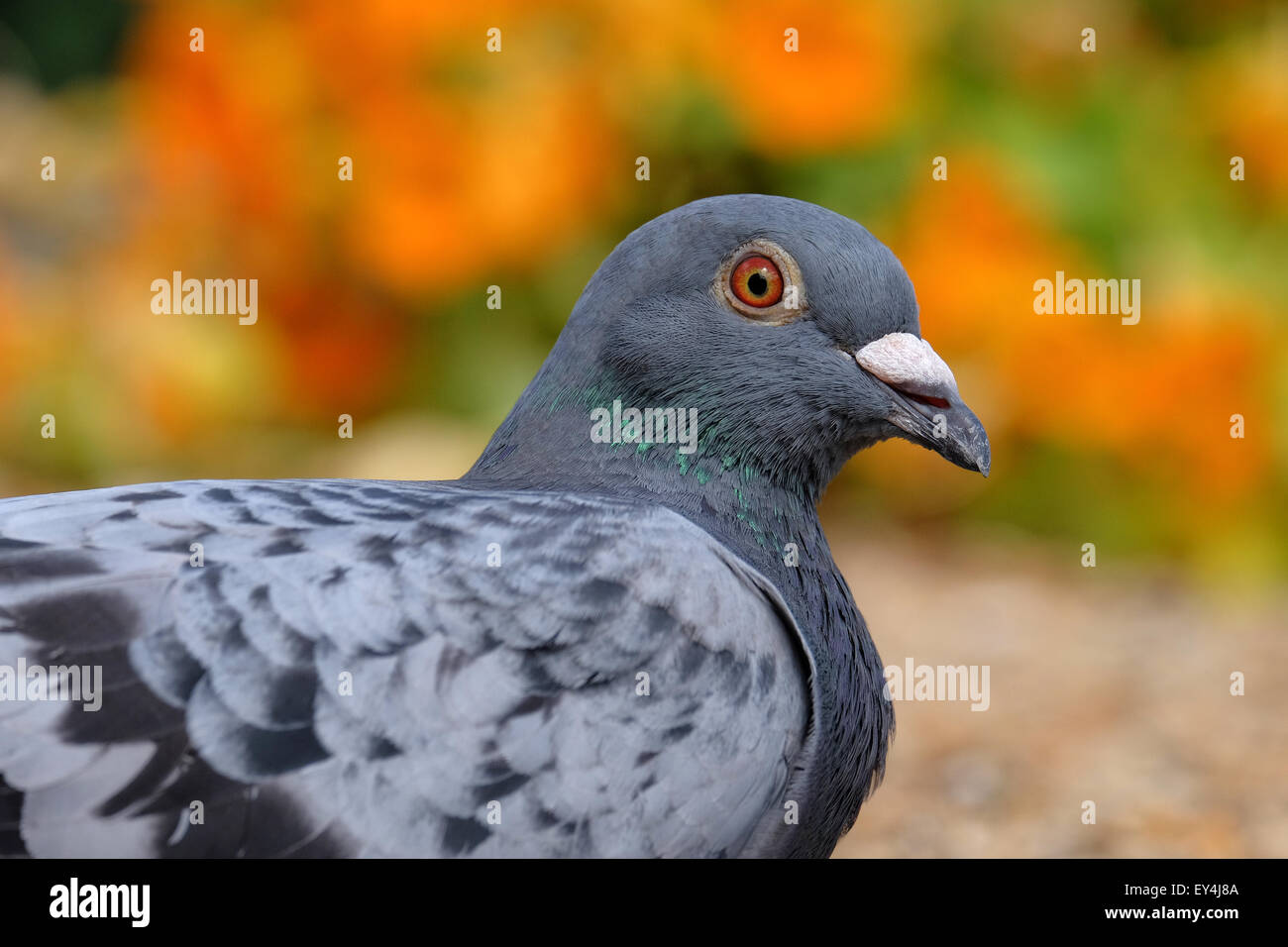 Un piccione di riposo in un colorato giardino in Hampshire REGNO UNITO Immagini Stock