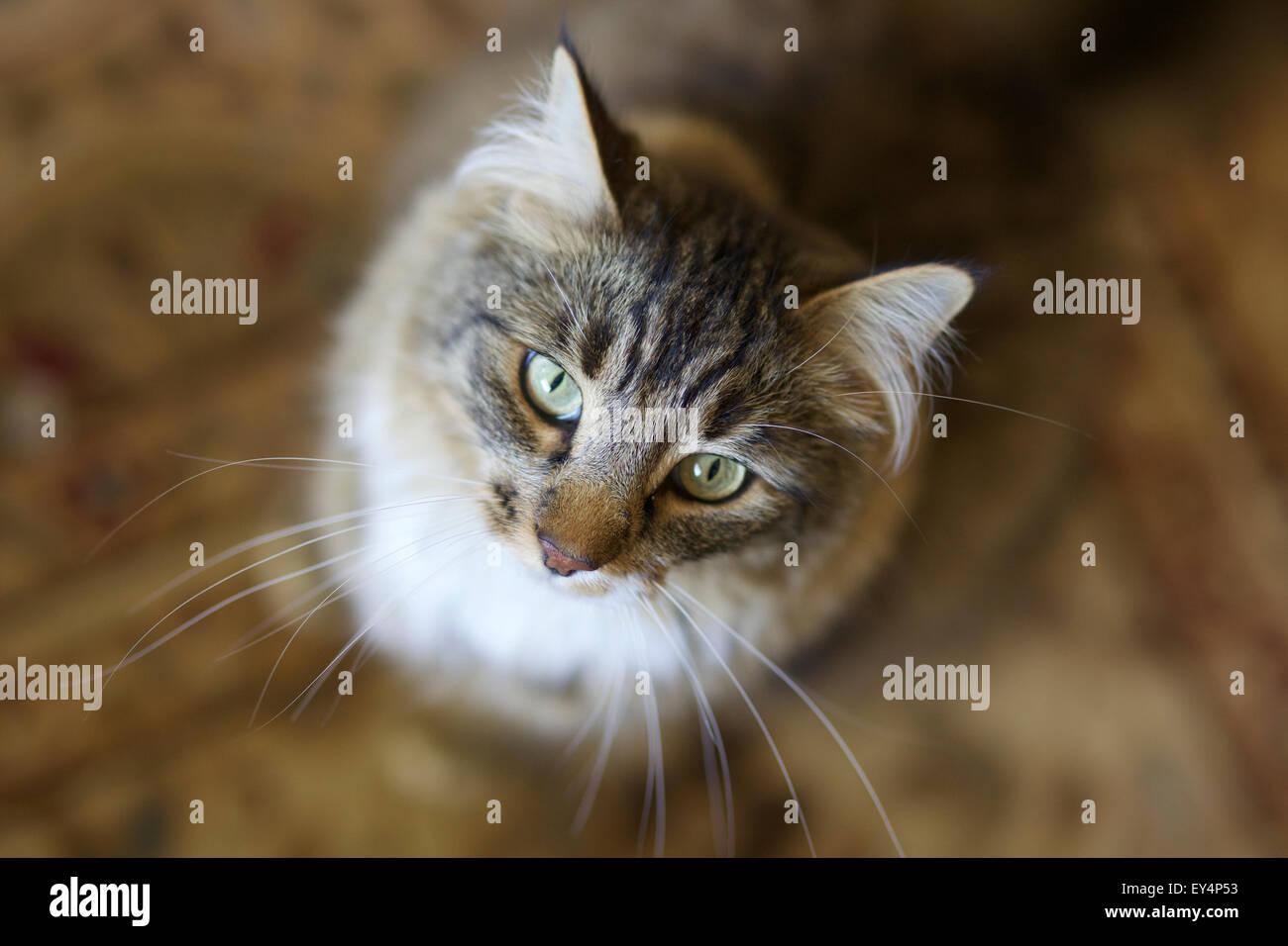 Capelli medi gatto domestico guardando la telecamera Immagini Stock