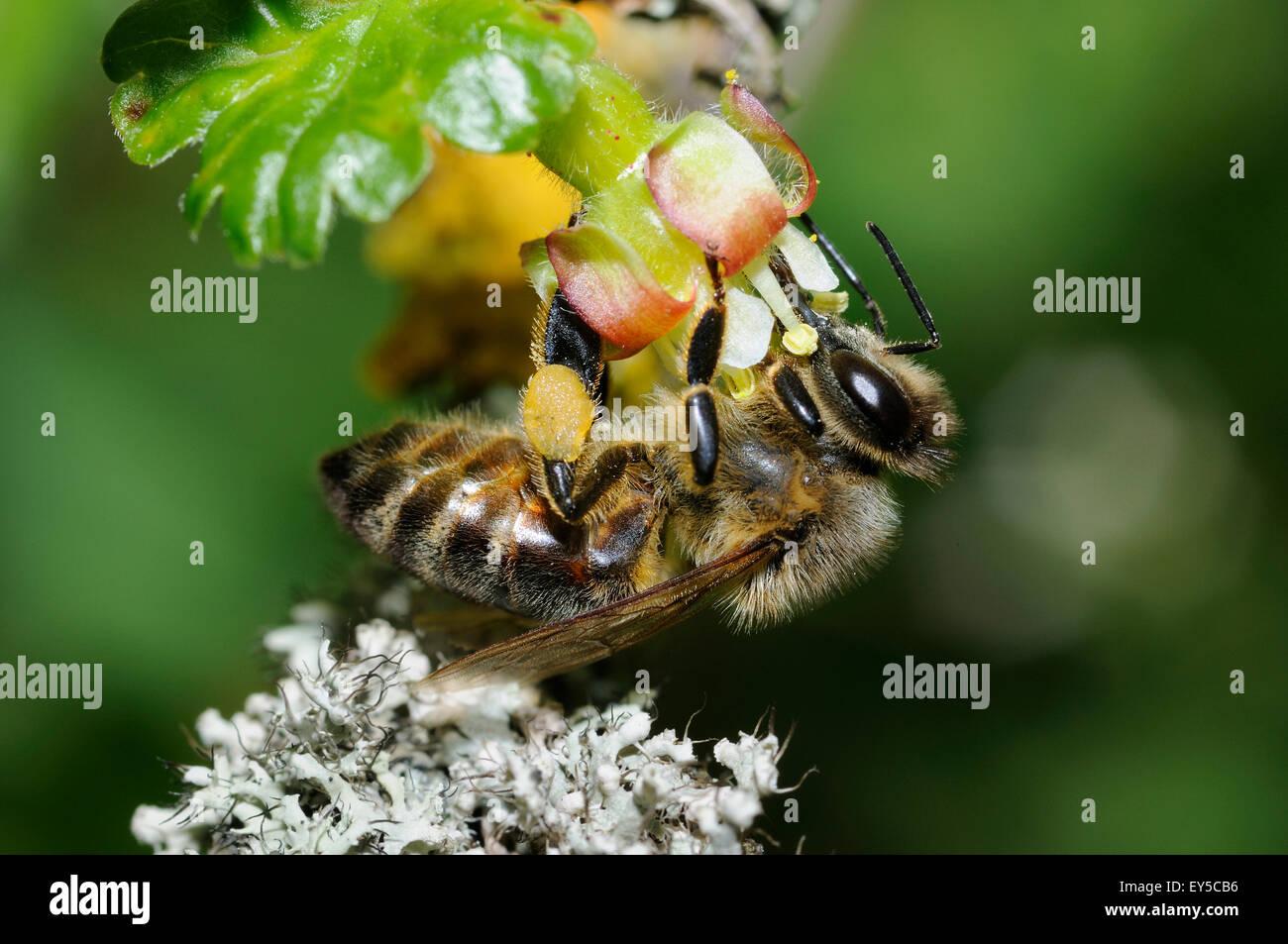 Honey-Bee su Ribes fiore - Vosges du Nord Francia Foto Stock