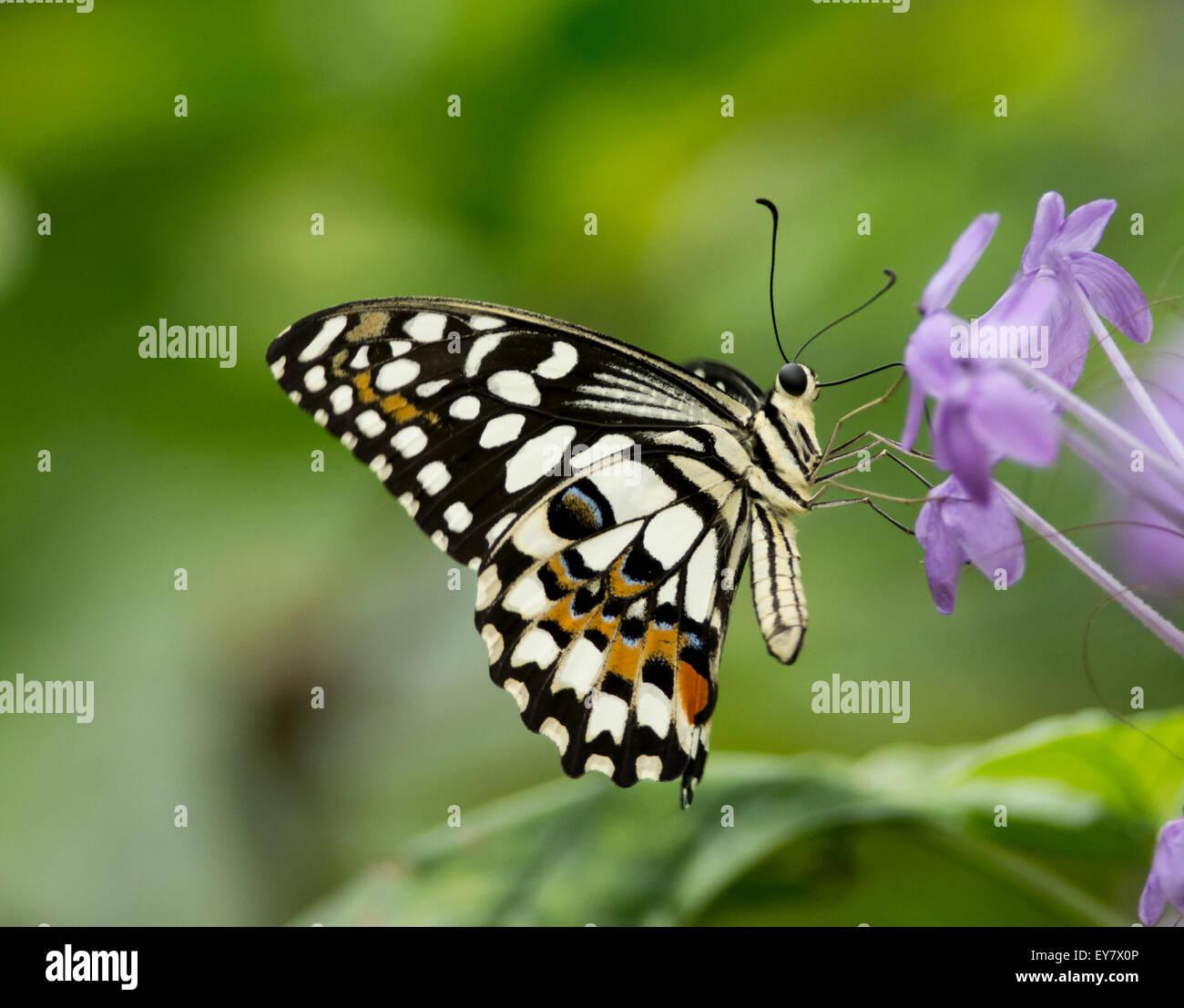 Calce comune (papilio demoleus) farfalla sul fiore viola Immagini Stock