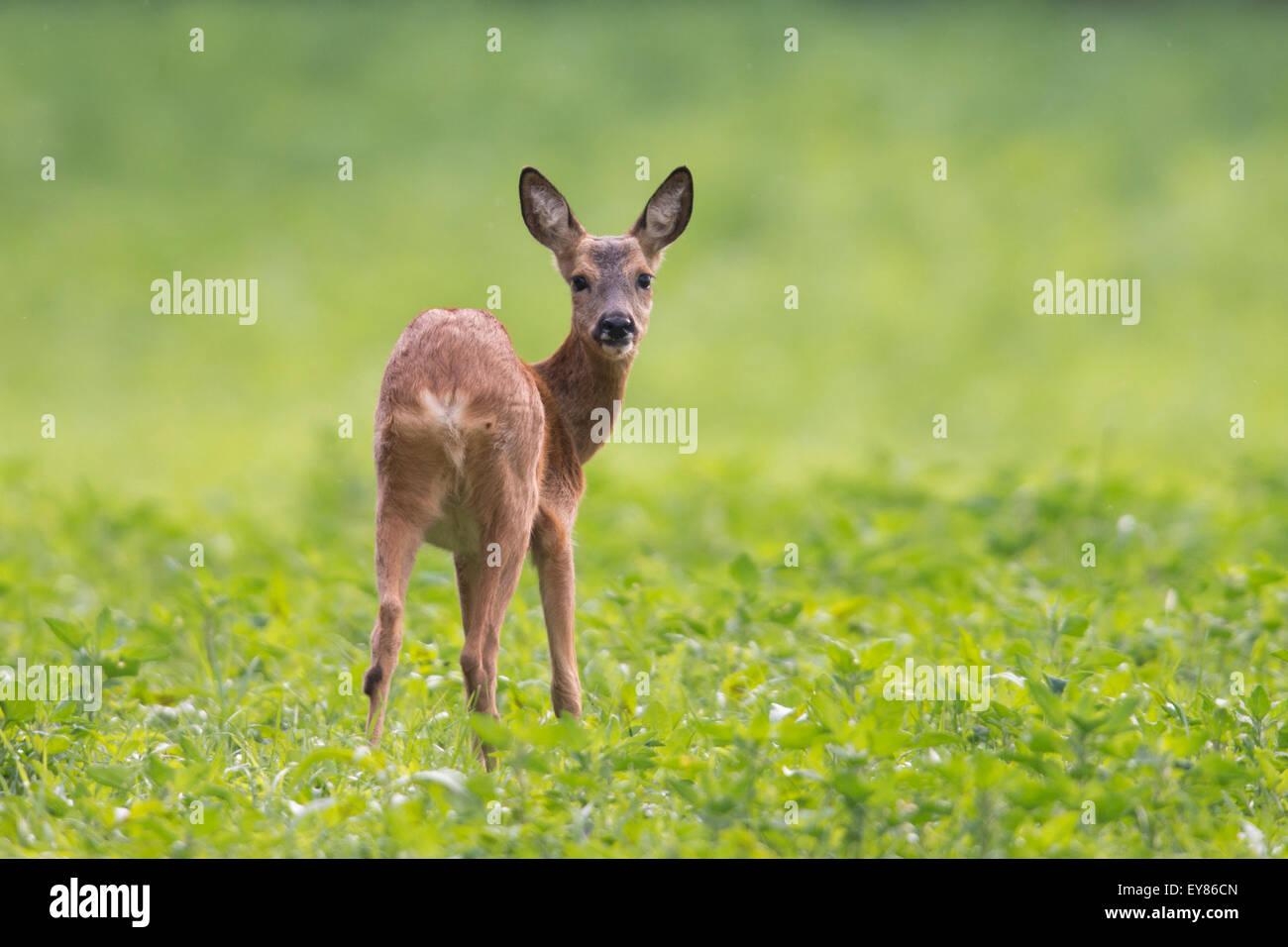 Il capriolo (Capreolus capreolus) in piedi nel campo verde, Emsland, Bassa Sassonia, Germania Immagini Stock