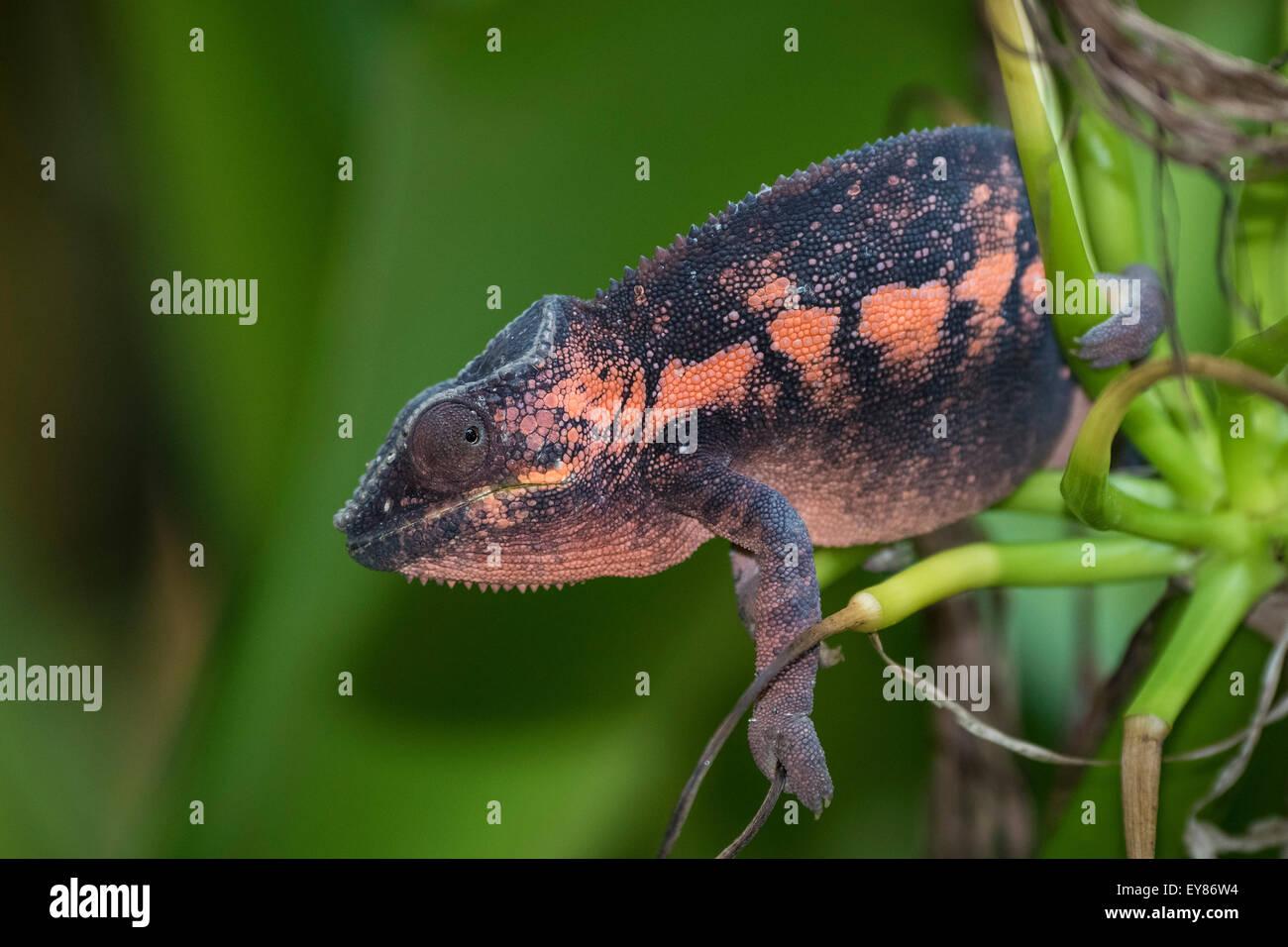 Panther Chameleon (Furcifer pardalis), femmina, captive, nativo del Madagascar Foto Stock