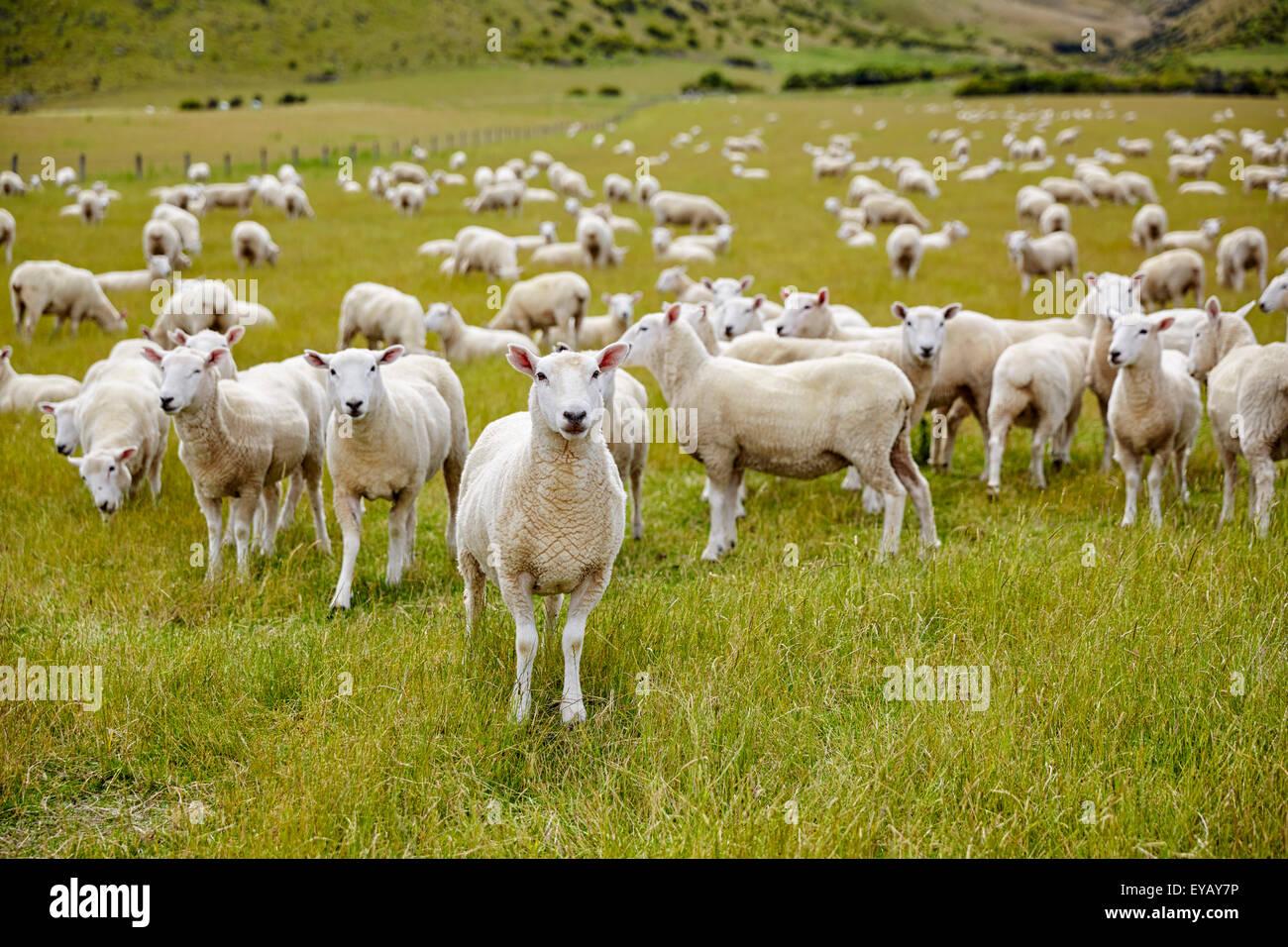 Pecore fattoria della Nuova Zelanda Immagini Stock