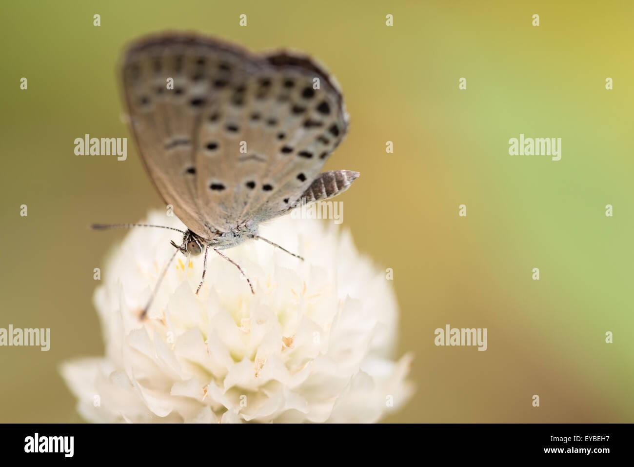 Una ripresa macro di un bianco 'pallido erba Blue' butterfly su un globo bianco fiore di amaranto. Immagini Stock