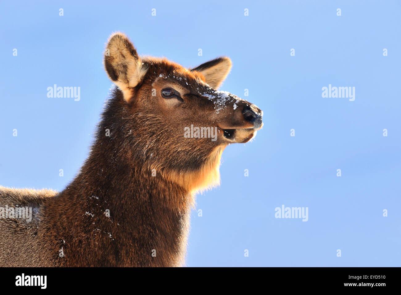 Una immagine ritratto di una mucca selvatica elk, Cervus elaphus, contro un cielo azzurro sfondo nel Parco Nazionale Immagini Stock
