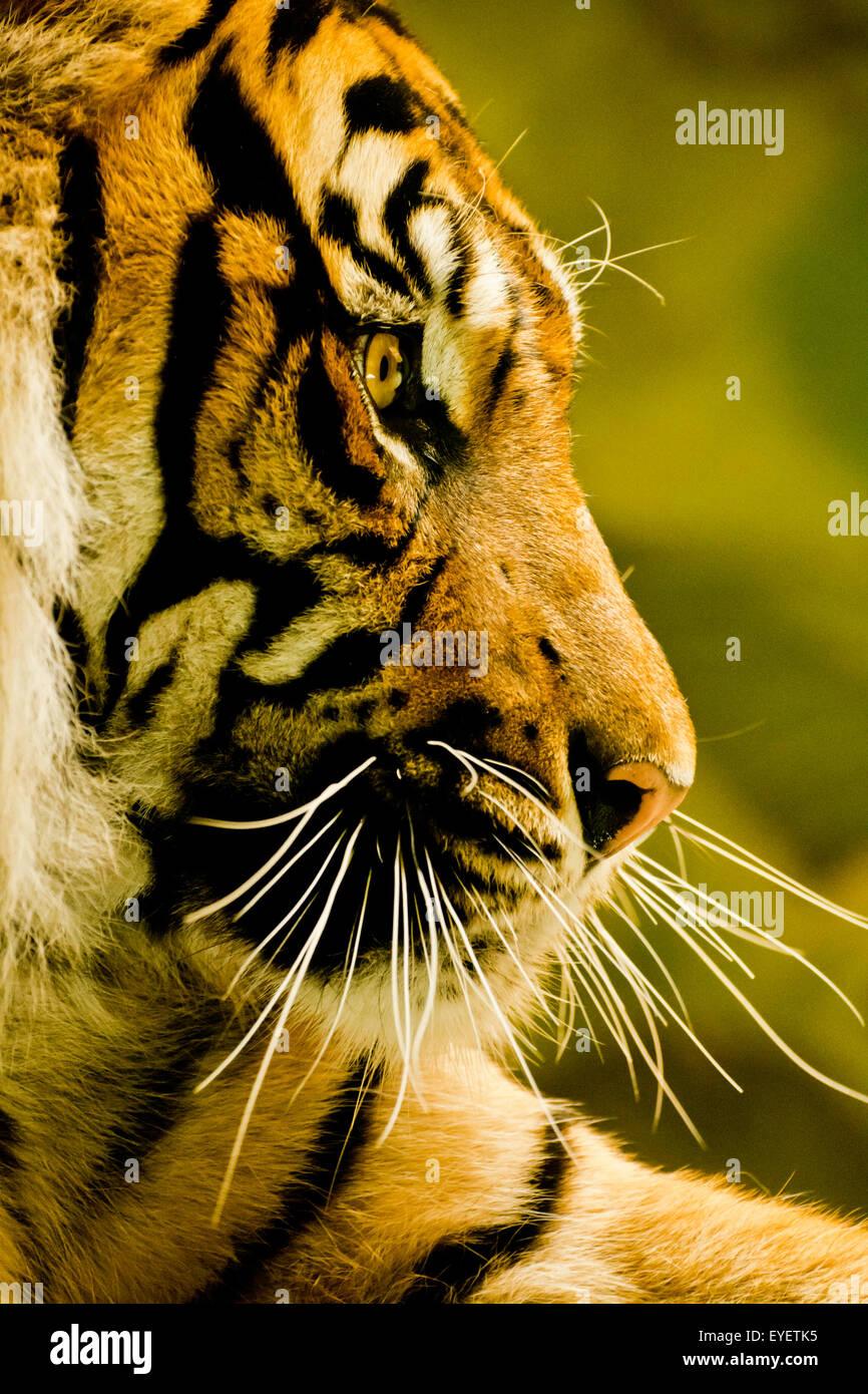 La tigre di Sumatra ritratto in cattività Immagini Stock