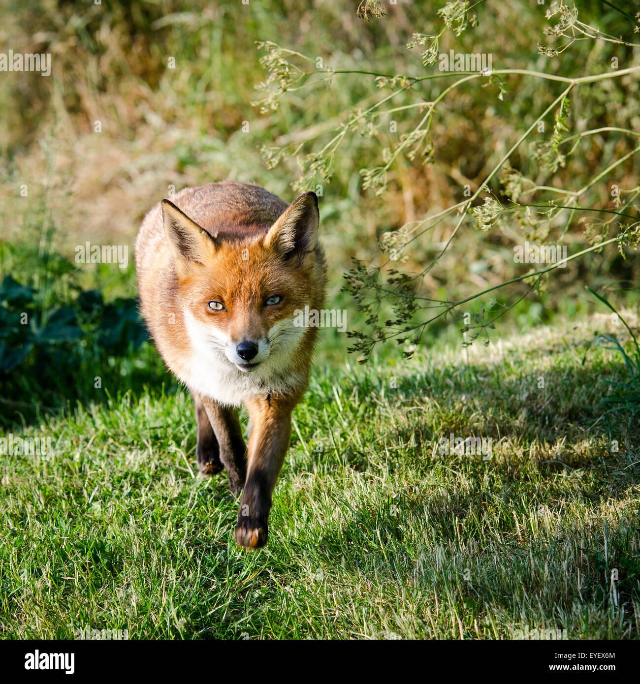 Unione volpe (Vulpes vulpes) passeggiate attraverso il campo, UK. Immagini Stock