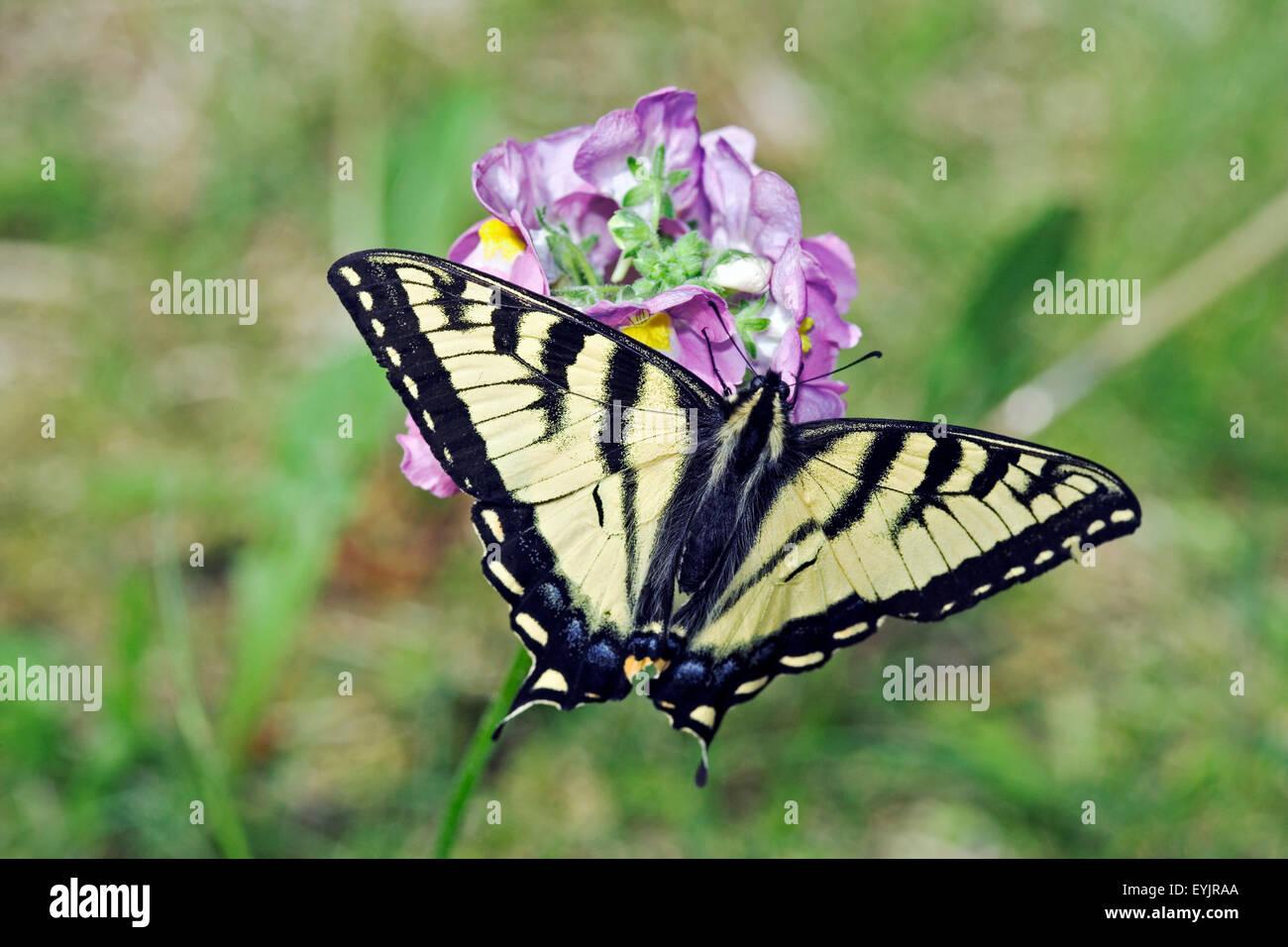Coda di rondine alimentazione a farfalla sul trifoglio rosso fiore close up Immagini Stock