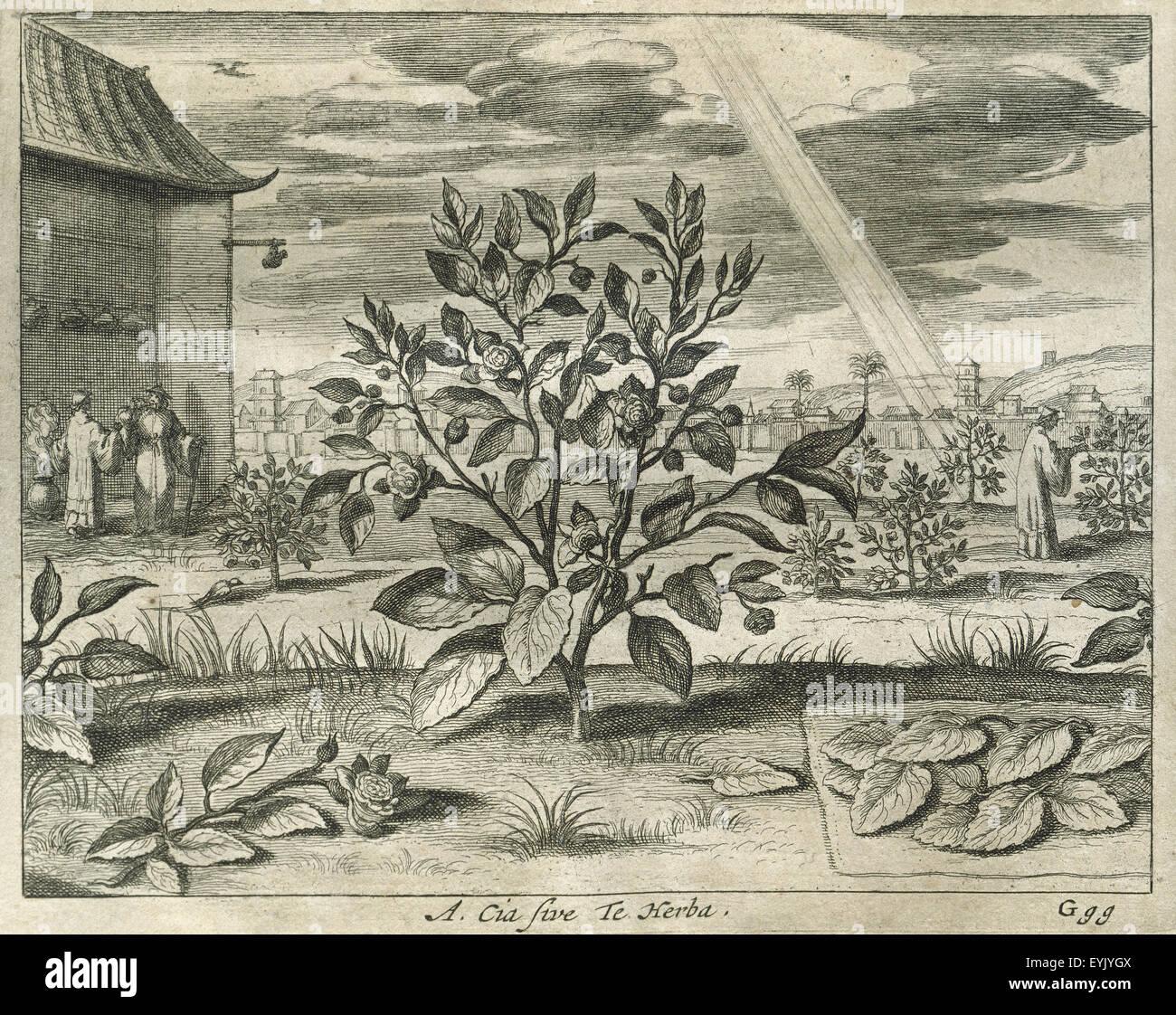 Camelia sinensis. Pianta del tè. Incisione. Cina monumenti Illustrada da Athanasius Kircher (1602-1680). Immagini Stock