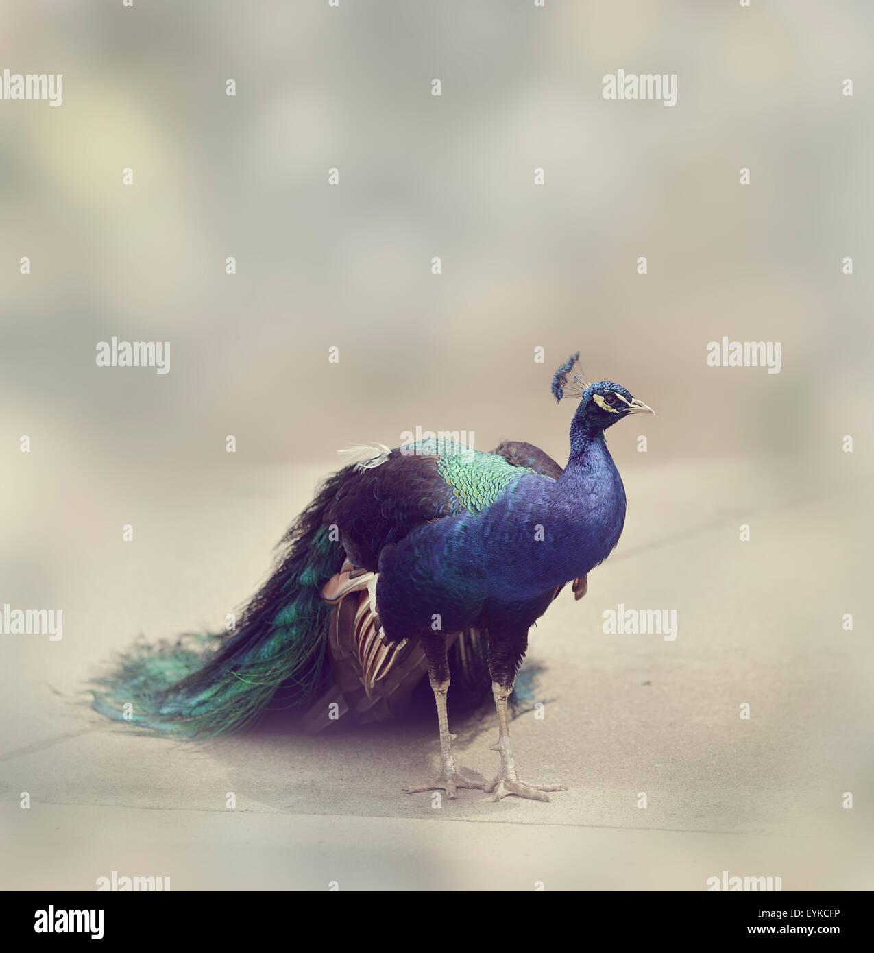 Ritratto di maschio Peafowl indiano Immagini Stock