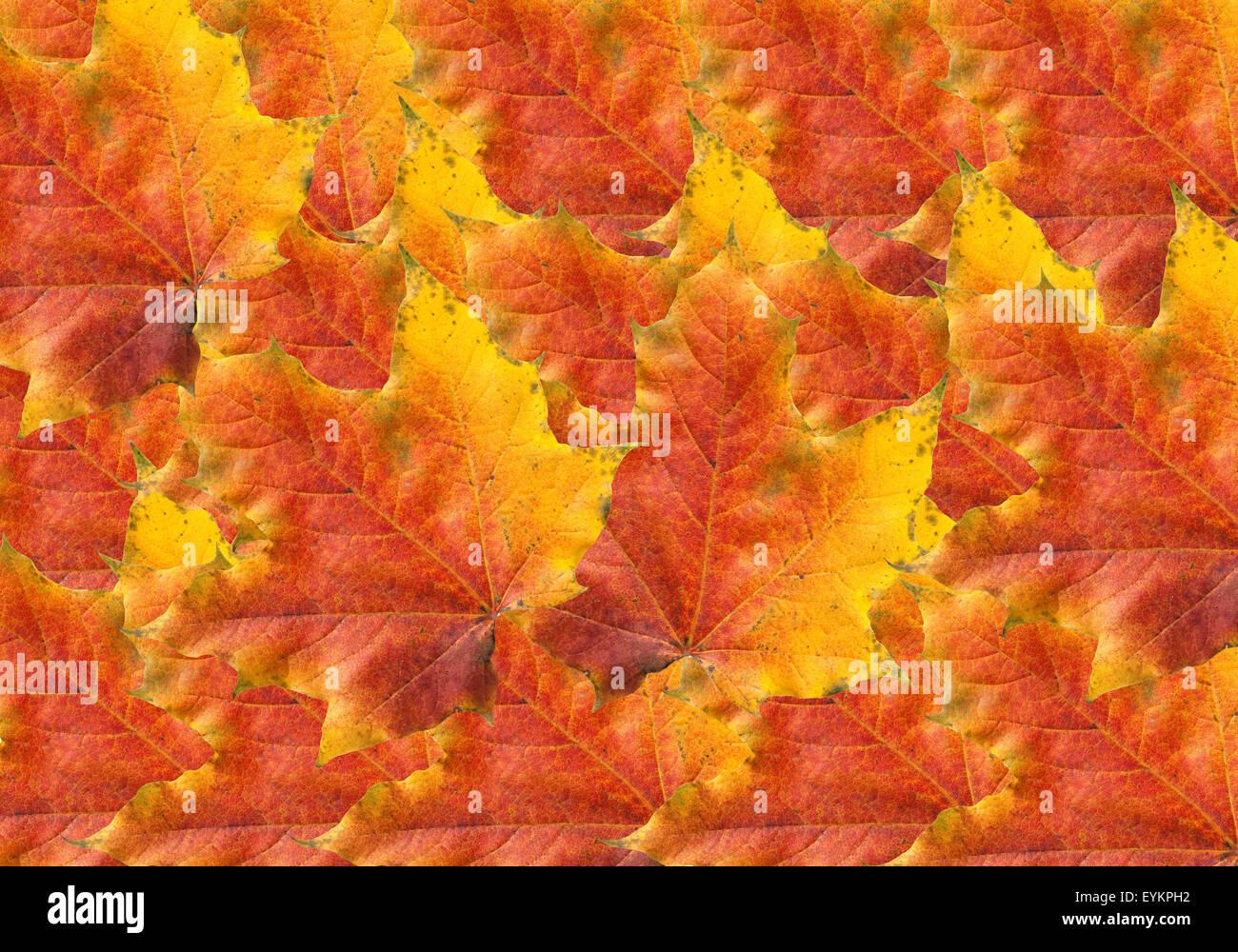Ahornblatt, Ahornbaum, Herbstblaetter; Immagini Stock