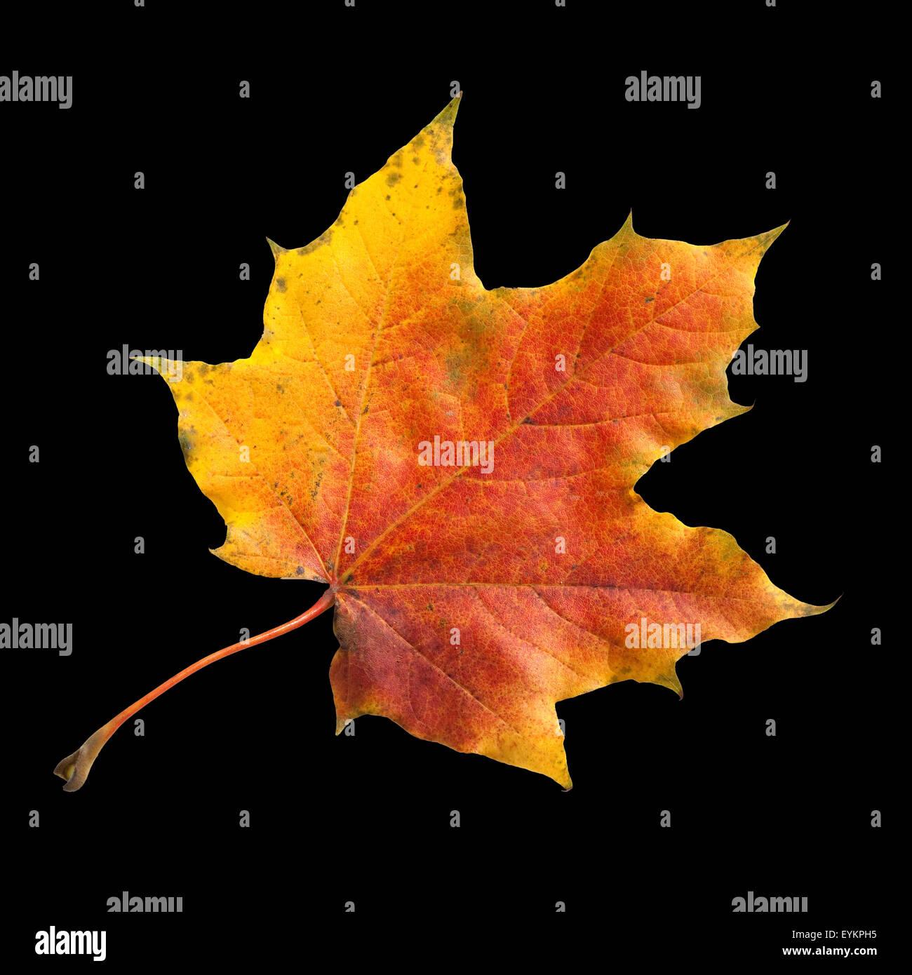 Ahornblatt; Ahornbaum; Herbstblaetter; Immagini Stock