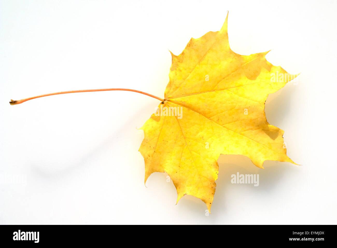 Ahornblatt im herbst, Immagini Stock