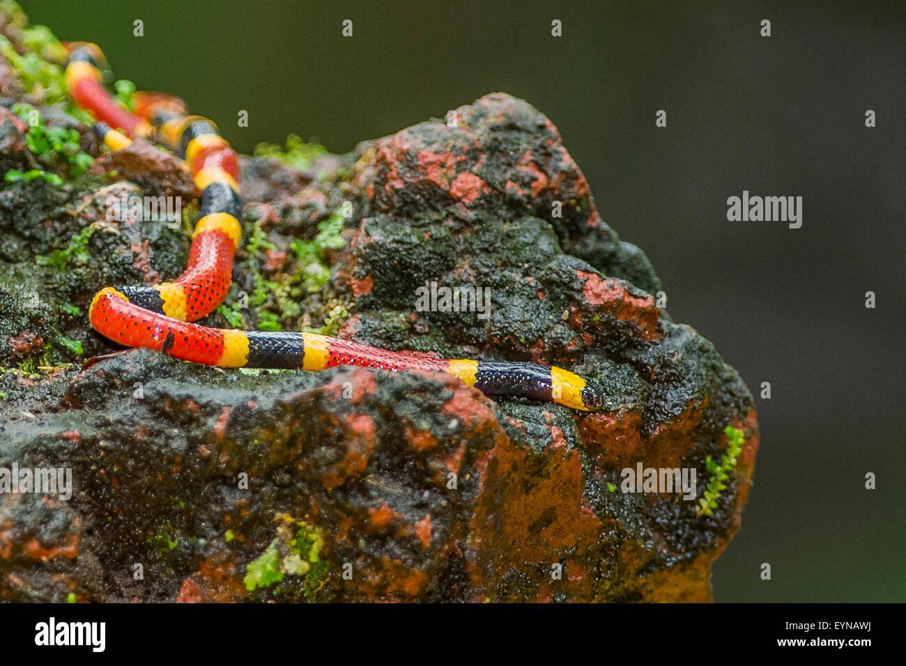 Un Centro Americano di Serpente corallo Immagini Stock