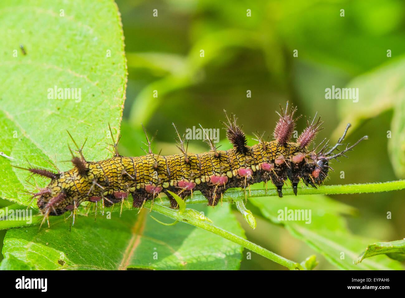 Un bruco della variabile Cracker butterfly Immagini Stock